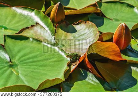 Green Frog On The Floating Lily Pads