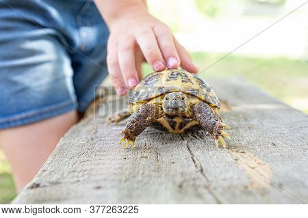 Central Asian Turtle Crawls On A Wooden Board And Looks Into The Camera. The Child Holds A Turtle By