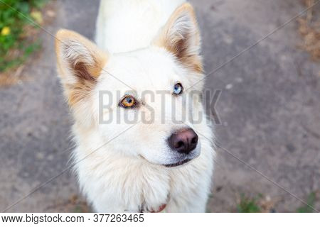 Close-up Portrait Of A White Dog With Heterochromia. Eyes Of Different Colors. Unusual, Special. Loo