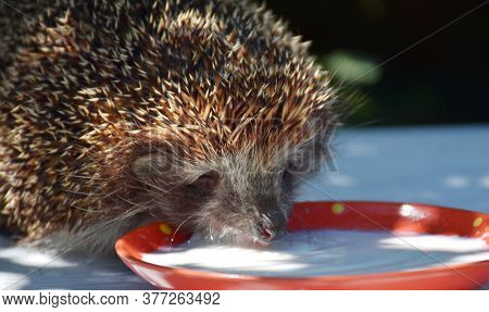 A Prickly Hedgehog Drinks Milk In The Garden