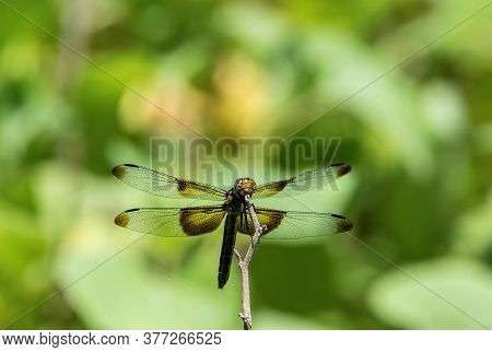 Widow Skimmer Dragonfly Resting On A Twig With Its Transparent Wings Spread Out Showing The Dark Pat