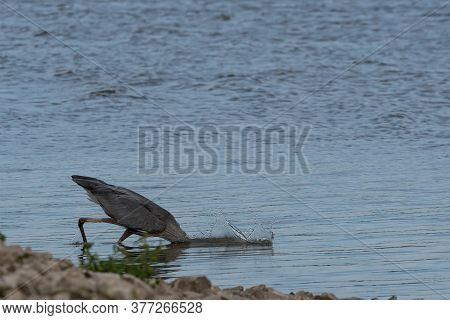 Water Splashing Up As A Great Blue Heron Plunges Its Head And Long Neck Into The Water While Trying