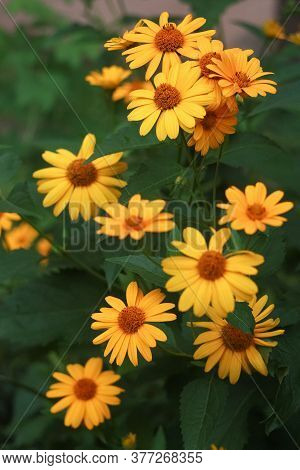 Yellow Flowers Of Blooming Heliopsis Sunflower (helianthus Pauciflorus) On A Flowerbed In The Garden