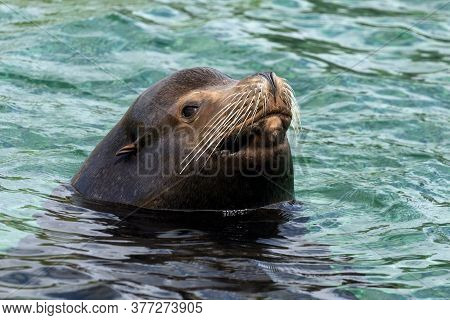 A California Sea Lion Pokes Its Head Above The Surface Of The Water While Swimming At A Zoo.