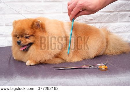 A Groomer Takes Care Of A Pomeranian. Close-up Of A Professional Groomer Combing A Pomeranian Dog.