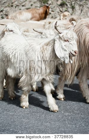 White Kashmir (pashmina) Goat From Indian Highland Farm In Ladakh Going With Herd
