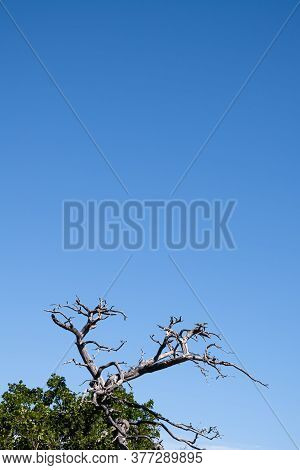 Bauduen, France - July 5, 2020: Dry Tree Antlers In The Provencal Landscape