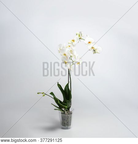 A Beautiful And Elegant White Phalaenopsis Orchid With Fuchsia Lips