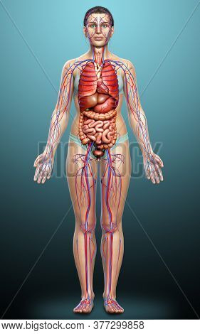 3d Rendered Medically Accurate Illustration Of Female Internal Organs And Circulatory System