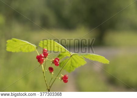 A Sprig Of Red Stone Berry With Green Leaves.