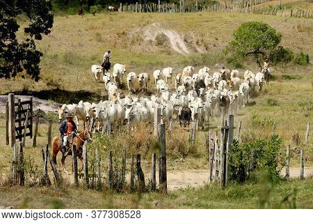 Pau Brasil, Bahia / Brazil - April 17, 2012: Cowboy Leads The Cattle On A Farm In The Rural Area Of