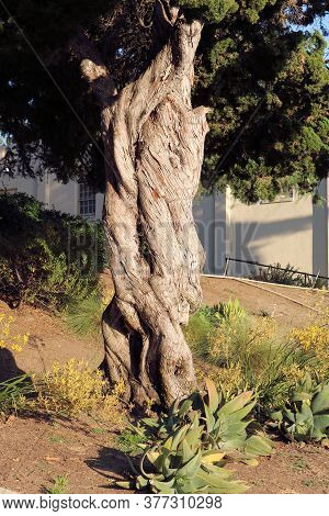 Twisted Juniper Coniferous Trees With Twisted Bark Besides Agave Plants Taken At A Drought Tolerant