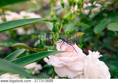 Brown Beetle Barbel On A Pink Rose. Arthropod Insect Winged Order. The Concept Of Garden Pests.