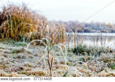 Frost-covered Grass And Reeds By The River