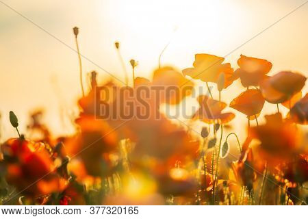 Blooming red poppies in a summer meadow backlit sun light
