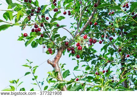 Ripe Cherries Hanging From A Cherry Tree Branch. Fruits, Cherry Orchard