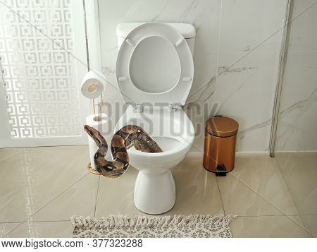 Brown Boa Constrictor Crawling Out From Toilet Bowl In Bathroom
