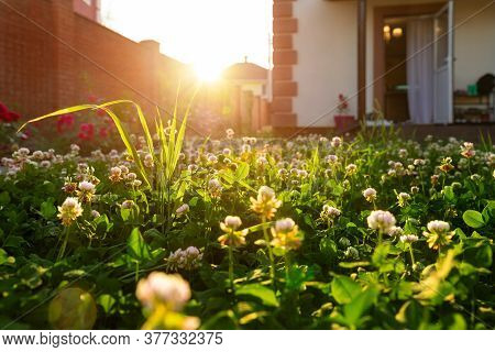 Scenic Close-up Macro White Clover Grass Lawn Meadow On Home Yard Against Backlit Bright Warm Sunset