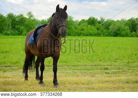 One Saddled Bay Horse Is Standing On The Rural Road.