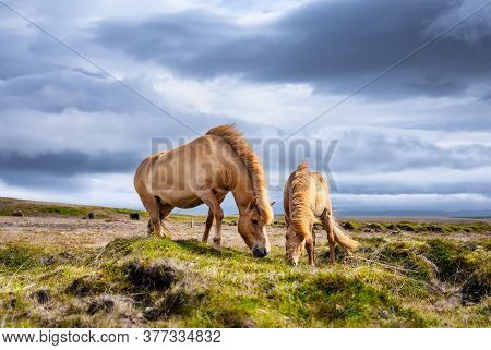 Horses In Iceland. Horse And Pony On The Westfjord In Iceland. Composition With Wild Animals. Classi