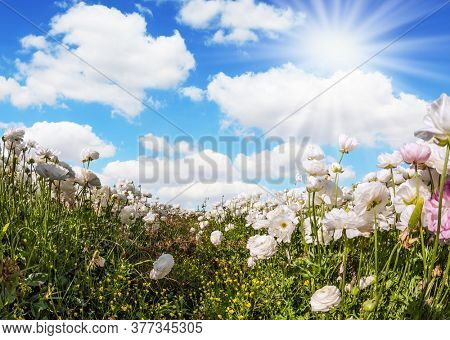 Spring mood. Greeting card. Spring holiday greeting postcard.Sunny lovely day in the south of Israel. Magnificent  buttercups. The concept of artistic photography