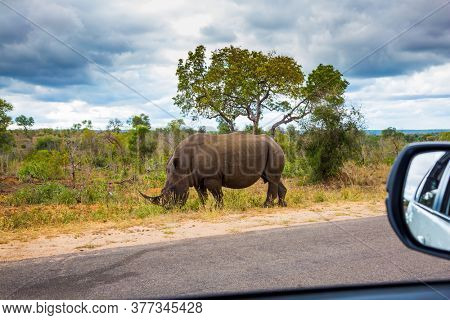 African white rhino with a single horn on its nose grazes near a dirt road. Travel to South Africa. Famous Kruger Park. The concept of exotic, ecological and photo tourism