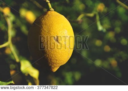 Close Up Of A Growing Lemon With A Heart Shaped Marking As Symbol For Love