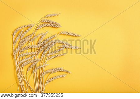 Ears Of Wheat And Grains On Yellow Colored Paper Background. Autumn Harvest Of Grain Crops. Top View