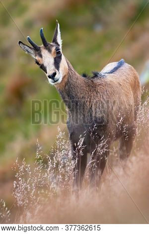 Tatra Chamois Standing On Steep Hill In Summer Nature.