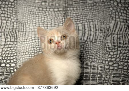 British Kitten Is Rare, White Withpeach And Gray Color