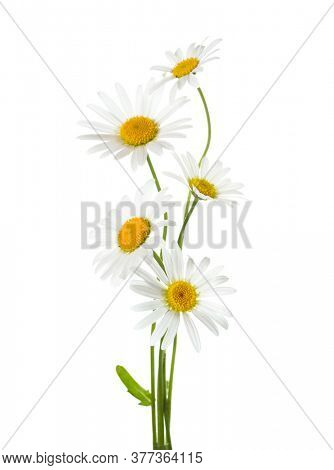 Five flowers of Chamomile ( Ox-Eye Daisy ) isolated on a white background.