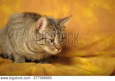 Striped Cat With A Sore Eye, An Thorn, A Cataract, A Blind