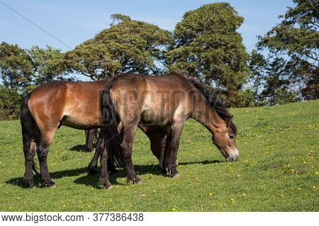 Exmoor Ponies Grazing On Green Pasture Outside Dunster, Somerset Uk