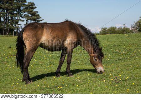 Exmoor Pony Grazing On Green Pasture Outside Dunster, Somerset Uk