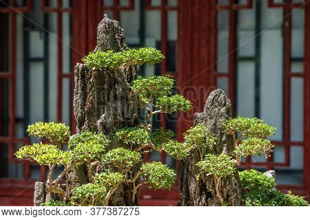 Bonsai Trees On A Rock Against Red Chinese Window In Chengdu, Sichuan Province, China