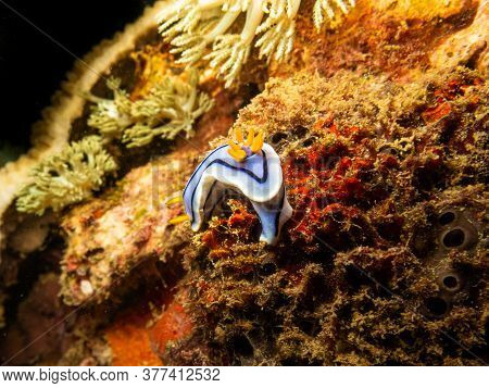Blue And White Nudibranch At An Amazing Tropical Coral Reef In Puerto Galera The Philippines. These