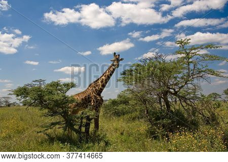 Beautiful Landscape With Tree And Giraffe In Africa. Tanzania.
