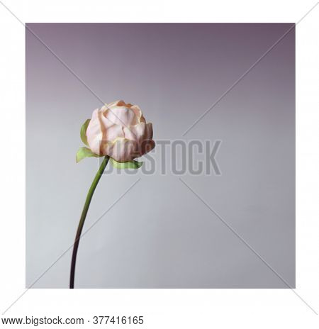 Pink pion. Big flower. Wedding decoration