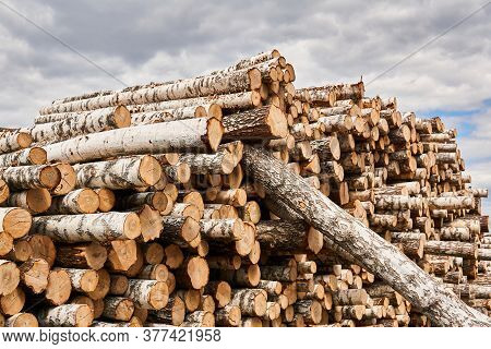 Many Felled Birch Trunks Are Stacked In A Woodyard Before Processing Or Transportation