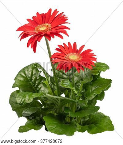 Red Gerbera Plant  Isolated On White Background