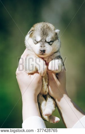 Woman Holds Black, White And Orange Colored Siberian Husky Puppy In Her Hands. Young Dog Isolated Wi