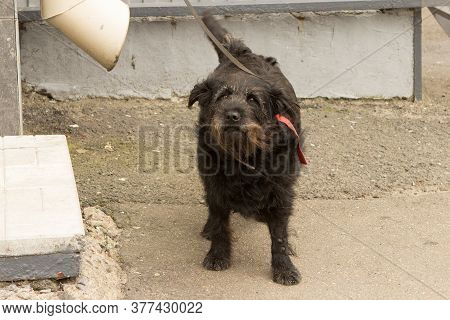 A Black Old Shaggy Distrustful Dog Is Waiting Outside The Store For Its Owner.