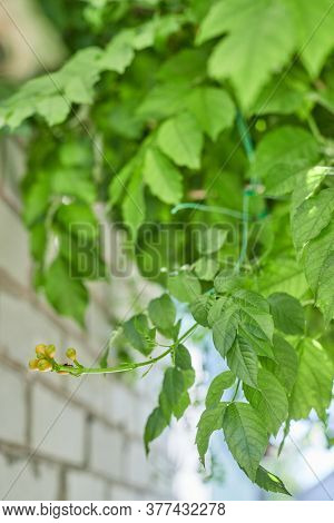 Leaves Kampsis With Buds Hanging From Above Climbs An Ant In The Sun