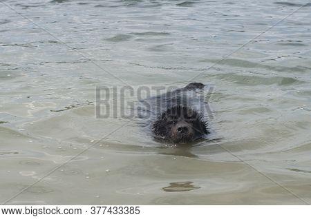 Newfoundland Dog Swimming In Calm Water Closeup