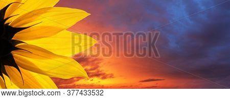 Sunflower flower closeup over epic sunset sky background. Copyspace.