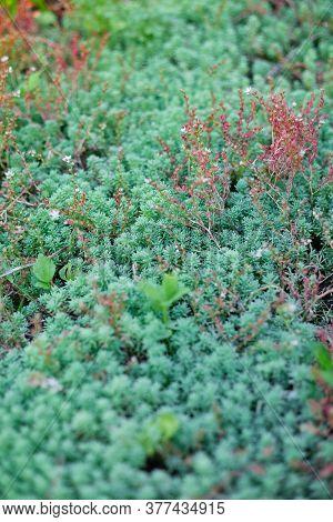 Ornamental Grass Spruce, Sedum, Juniper Horizontal Green