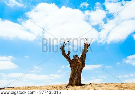 Huge dry stump on a hill around the Ben Gurion Memorial. Early spring. Israel. View of the landscapes in the valleys of the Qing and Ramat Avdat