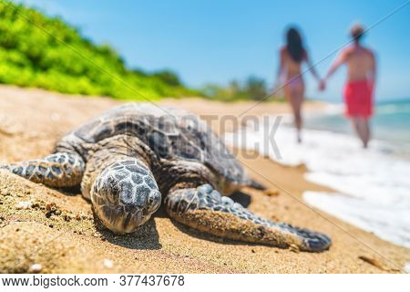 Hawaii sea turtle nesting on beach where tourists walking in background on vacation holiday travel. Wildlife protection conservation.