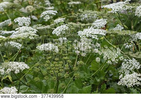 Wild Giant Hogweed Plant With Flowering. Heracleum. Poisonous Plant. A Giant Dangerous Allergic Plan