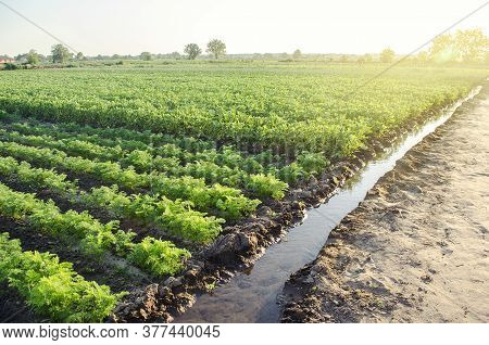 Watering Plantation Landscape Of Green Carrot And Potato Bushes. Agroindustry And Agribusiness. Root